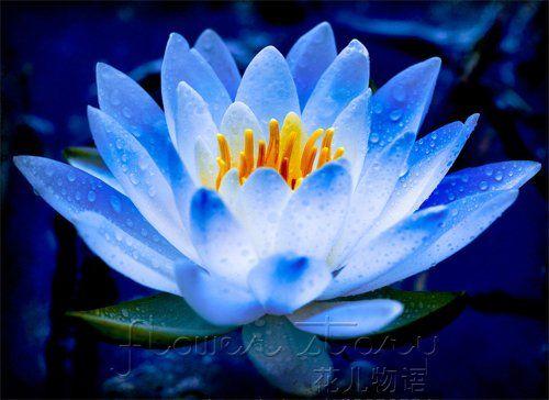 flor de lótus azul.